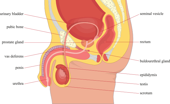 vasectomy reproductive